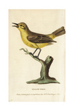 Willow Warbler, Phylloscopus Trochilus Giclee Print by George Edwards