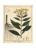 Saracen's Comfrey, Senecio Saracenicus Giclee Print by F. Guimpel