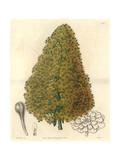 City Houseleek, Aeonium Urbicum Giclee Print by Sarah Drake