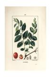 Jujube Tree, Rhamnus Zizyphus Giclee Print by Pierre Turpin