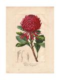 New South Wales Waratah, Telopea Speciosissima Giclée-Druck von Pancrace Bessa