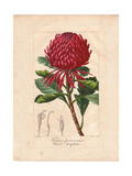 New South Wales Waratah, Telopea Speciosissima Giclee Print by Pancrace Bessa