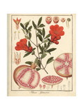 Pomegranate, Punica Granatum Giclee Print by F. Guimpel