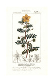 Jamaican Feverplant, Tribulus Cistoides Giclee Print by Pierre Turpin