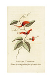 Scarlet Woodbine of New South Wales, Lonicera Species Giclee Print
