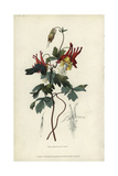 Slender Canadian Columbine, Aquilegia Canadensis Gracilis Giclee Print by William Clark