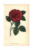 Madame Victor Verdier Rose, Crimson Hybrid Giclee Print by Francois Grobon
