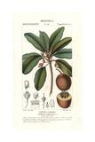 Sapodilla Tree, Manilkara Zapota Giclee Print by Pierre Turpin