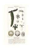 Pierre Turpin - Walnut Tree, Nut in Section, Juglans Regia Digitálně vytištěná reprodukce