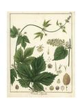 Hops, Humulus Lupulus Giclée-Druck von F. Guimpel