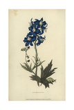 White-Eyed Larkspur; Delphinium Mesoleucum Lámina giclée por William Clark