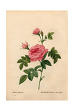 Rose Without a Thorn, Rosa Francofurtana Variety Giclee Print by Pierre-Joseph Redouté