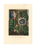 Quadrangular Passion Flower, Passiflora Quadrangularis Giclee Print by Peter Henderson