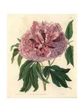 Moutan Peony, Paeonia Suffruticosa Andrews Var Lacera Giclee Print by Sarah Drake
