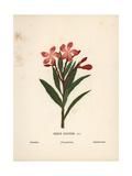 Oleander, Nerium Oleander Giclee Print by Hannah Zeller