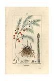 Asparagus, Asparagus Officinalis Giclée-Druck von Pierre Turpin