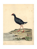 Purple Swamphen, Porphyrio Porphyrio Giclee Print by William Hayes
