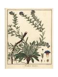Alkanet or Dyers' Bugloss, Alkanna Tinctoria Giclee Print by F. Guimpel