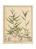 Small Water-Pepper, Persicaria Minor Reproduction procédé giclée par F. Guimpel