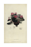 Round-Leaved Cyclamen, Cyclamen Coum Giclee Print by William Clark