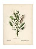 Palestine Grasses Giclee Print by Hannah Zeller