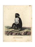 Roloway Monkey, Cercopithecus Roloway Giclee Print by H.I. Tyroff