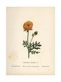 Persian Buttercup, Ranunculus Asiaticus Giclee Print by Hannah Zeller