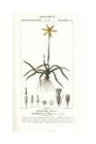 Yellow Stargrass, Hypoxis Stellata Giclee Print by Pierre Turpin