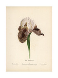 Persian Iris, Iris Susiana, Original Form Extinct in the Wild Giclee Print by Hannah Zeller