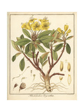 Golden Flowered Rhododendron, Rhododendron Chrysanthum Giclee Print by F. Guimpel