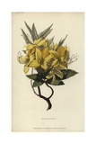 Yellow Azalea, Rhododendron Luteum Giclee Print by William Clark