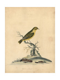 Yellow Finch, Fringilla Butyracea Extinct Giclee Print by William Hayes