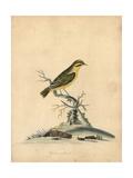 Yellow Finch, Fringilla Butyracea Extinct Giclee Print by William Hayes