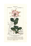 Goat-Leaf Honeysuckle, Lonicera Caprifolium Giclee Print by Pierre Turpin