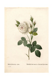 Shailer's White Moss Rose, Rosa Centifolia Var Alba-Muscosa Giclee Print by Pierre-Joseph Redouté