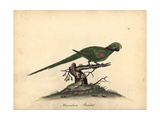 Alexandrine Parakeet, Psittacula Eupatria Giclee Print by William Hayes