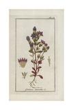 Autumn Gentian, Gentiana Amarella Giclee Print