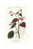Begonia Discolor Showing Top and Underside of Leaves Giclee Print by Pierre Turpin