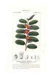 Clovenberry Bush, Samyda Serrulata Giclee Print by Pierre Turpin
