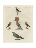 European Roller, Hoopoe, Red Crossbill, and Thrush Nightingale Reproduction procédé giclée
