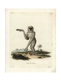 Silvery Gibbon, Hylobates Moloch Giclee Print by J. Ihle