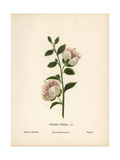 Caper Flower, Capparis Spinosa Giclee Print by Hannah Zeller