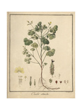 Common Yellow Woodsorrel, Oxalis Stricta Giclee Print by F. Guimpel