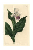 Showy Lady'S-Slipper Orchid, Cypripedium Reginae Giclee Print by Sarah Drake