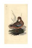 Shoveler Duck (Female), Anas Clypeata Giclee Print by Edward Donovan