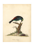 Paradise Tanager, Tangara Chilensis Giclee Print by William Hayes