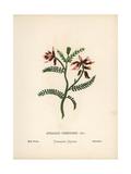 Milk Vetch, Astragalus Suberosus Var Hartmannii Giclee Print by Hannah Zeller
