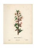 Almond Blossom, Amygdalus Communis Giclee Print by Hannah Zeller