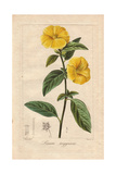 French or Yellow Flax, Linum Trigynum Giclee Print by Pancrace Bessa