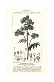 Jacob's Ladder or Greek Valerian, Polemonium Caeruleum Giclee Print by Pierre Turpin